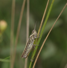 Grasshopper (Possibly a Bow-winged grasshopper, Chorthippus biguttulus)