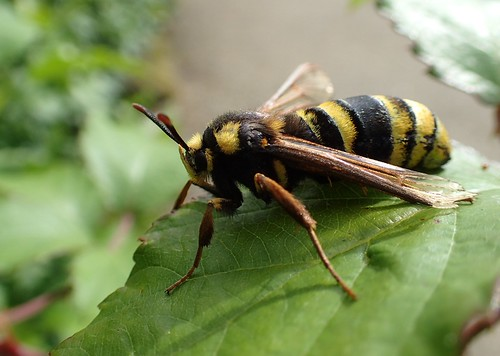 Sesia apiformis -  Sésie apiforme ou Sésie du peuplier - Hornet moth or Hornet clearwing - 15/06/20