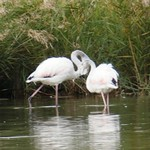 Aves en las lagunas de La Guardia (Toledo) 4-10-2020