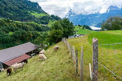 A flock of sheep grazing in picturesque green hills of Switzerland near Lucern lake