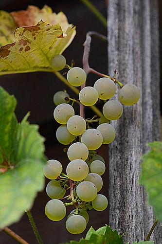 Grape / Explore