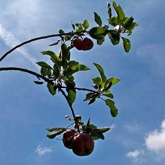 Fruit tree at Bull Run Mountain Farm