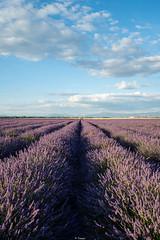 Purple Valensole