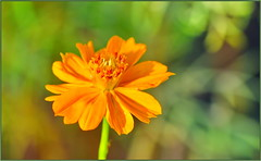 Autumn Pumpkin Cosmos