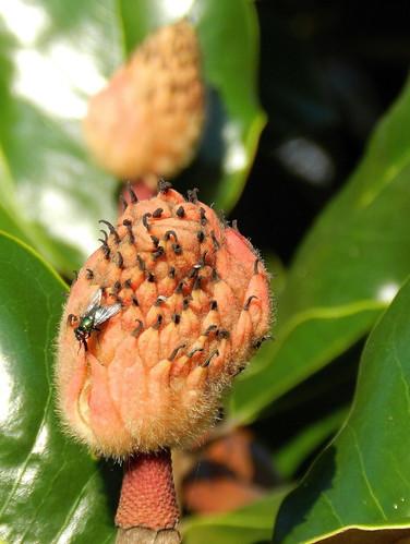 Boutons floraux de magnolia