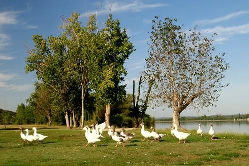 Patos del pantano.