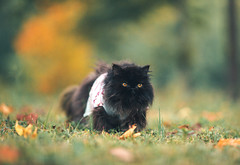 Autumn Black Cat