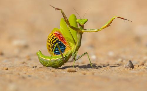 mantis mediterranea / mediterranean mantis
