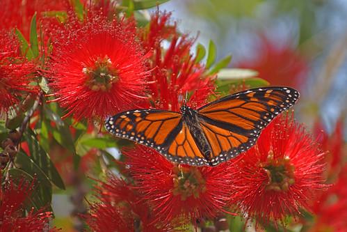 Monarch (Wanderer) Butterfly