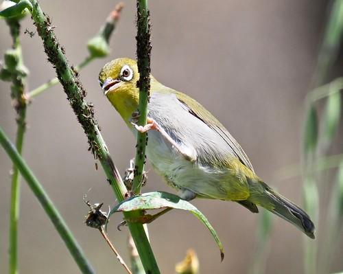 Silvereye (ssp: Chloronotus)