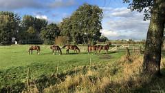 Groningen: Essen, horses in the afternoon sun