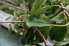 Cherry tree leaf @ Annecy-le-Vieux