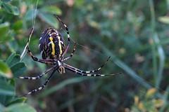 L'araignée tisse sa toile, encore et encore... The spider weaves its web, again and again #FujiX-S1 #Gimp #DigiKam