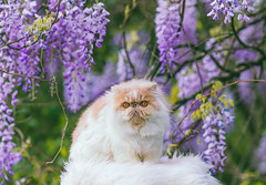 Persian Cat In Flowers