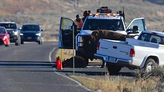 Bison Calf Killed by Vehicle