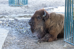 American Bison laying on the ground