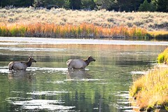 Cow Elk & Madison River