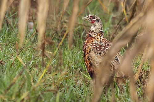 Faisão-comum | Common Pheasant (Phasianus colchicus) ♂ Juvenil