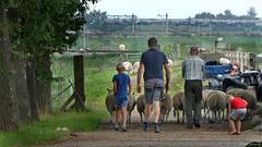 Groningen: Essen, of men and sheep