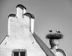 The storks of Riquewihr