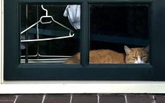 Groningen: Essen, cat in a farmhouse window