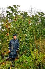 My wife and our sunflowers