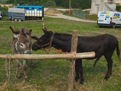 V carrera de burros de Liaño