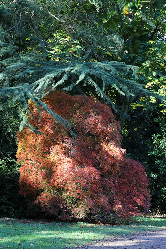 Acers of Westonbirt: A teddy bear? {EXPLORED 13.10.2020} Thank you for viewing, favours & comments