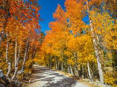 North Lake Bishop Creek High Sierra Autumn Colors Fall Foliage Fuji GFX100 Fine Art Landscape Nature Photography! California Aspens Brilliant Red Orange Yellow Autumn Leaves Eastern Sierra! Medium Format Photographer Fuji GFX 100 Fujinon Fujifilm GF Lens!