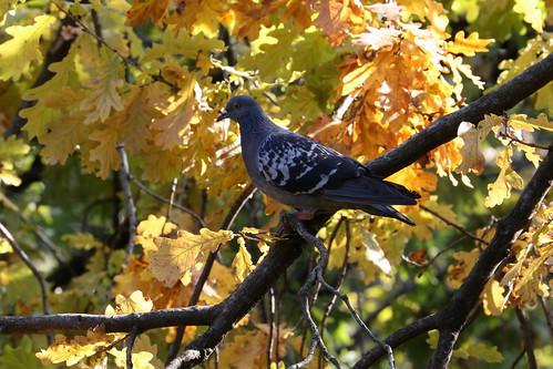 Foliage con piccione
