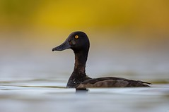 Tufted Duck.