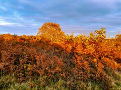 Blazing red - Gentleshaw Common, Burntwood, England
