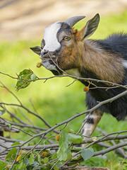 Cute goat eating leaves