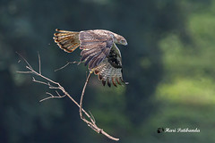 A Bonelli's Eagle Carrying heavy nesting materials