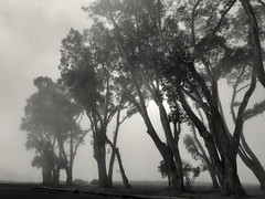 Trees and Fog at Manresa State Beach