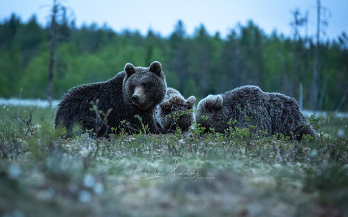 Lying down with wild bears in Finland (Explore)