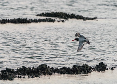 Oyster Catcher Catching Oysters