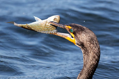 Emerald Green Eye Double-crested Cormorant with a Pinfish