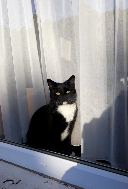 Photo:BlueBelle mewing in the window By Rain Rabbit
