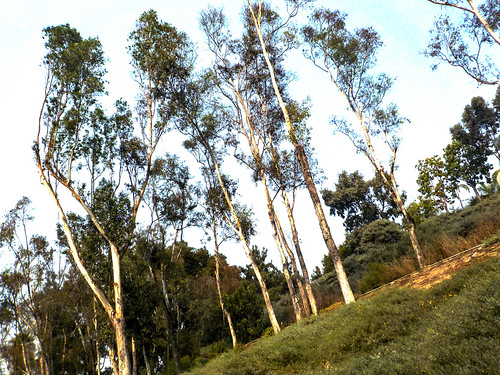 Eucalyptus at the Drive In Vaccination Clinic