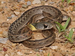 Rhabdophis subminiatus