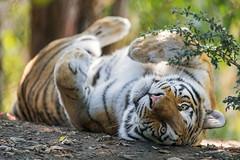 Tigress on her back