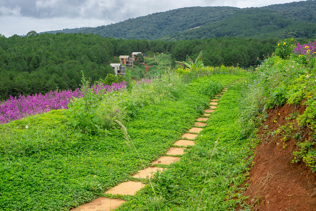 Stone Path next to Lavender and New York Aster Fields in Dalat, Vietnam