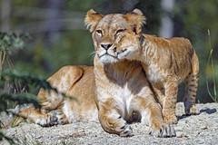 Cub cuddling with mom