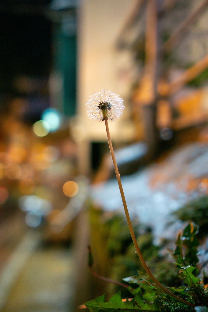 Dandelion growing out of a Wall on the Streets of Dalat, Vietnam
