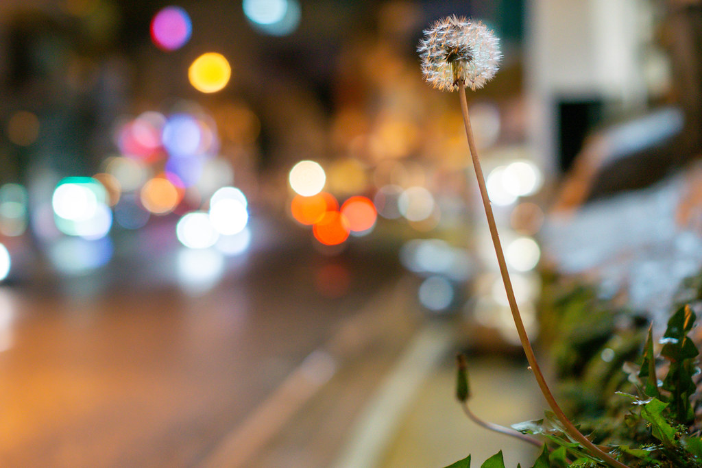 Close Up Night Photo of Dandelion with Light Bokeh in the Background
