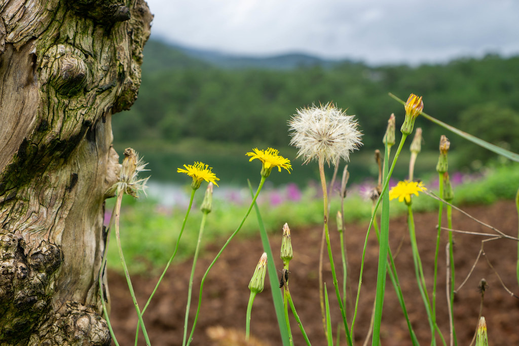 Close Up Photo of White and Yellow Dandelion next to a Tree Trunk