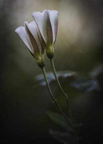 white saten