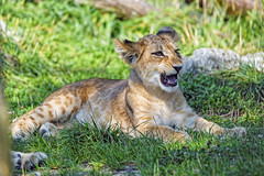 Cute cub with open mouth