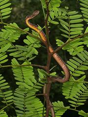 Psammodynastes pulverulentus